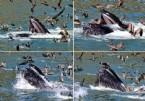 KALIFORNIYA - Pelikanların Mucizevi Kaçışı