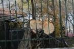 Eymir'de Ağaç Katliamı