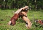 İzlandalı Muhteşem Atlar