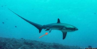 Köpekbalığı İlk Defa Doğum Yaparken Görüntülendi!