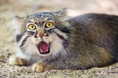 Vahşi Kedilerin İlginç Fotoğrafları