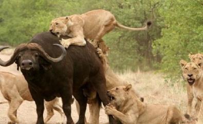 Beş Aslan Bir Bufaloya Karşı...