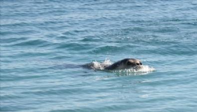 Konyaaltı Plajı'nda Akdeniz Foku Heyecanı