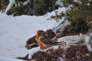 ORMAN VE SU İŞLERİ BAKANLIĞI - Artvin'de Sakallı Akbaba Fotokapana Yakalandı