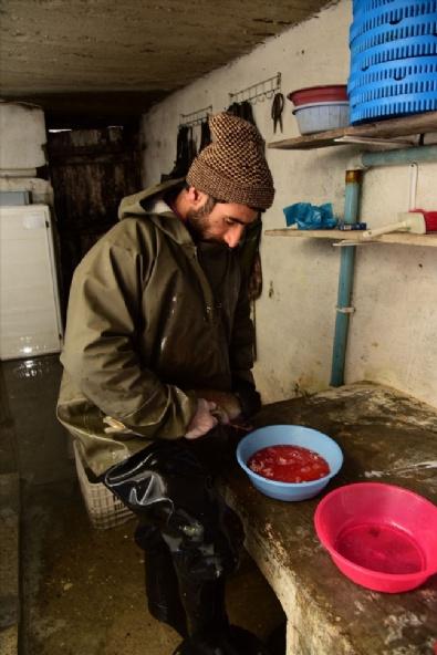 Bitlis'te alabalık sağımı