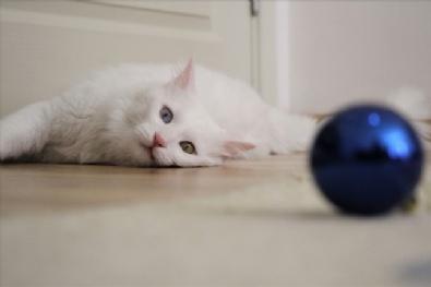 Van'ın En Güzel Kedisine Evladı Gibi Bakıyor
