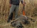 Domuz gribine karşı domuz avı