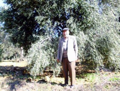 NECMETTIN GÜLER - Burhaniyeli Zeytin Keşifçisi