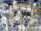 Maksutefendi Mahallesi'ndeki Köpekler Toplanmaya Başlandı