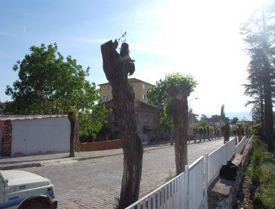 Balıkesir'de Doğa Mucizesi, Akasya Ağacı Çam Açtı