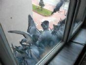 Şanslı Güvercinler