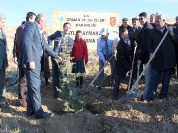 HAMIT YÜKSEL - Polatlı'da 250 Bin Fidan Toprakla Buluştu
