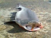 Tekirdağlı Balıkçılar 3 Metrelik Köpek Balığı Yakaladı