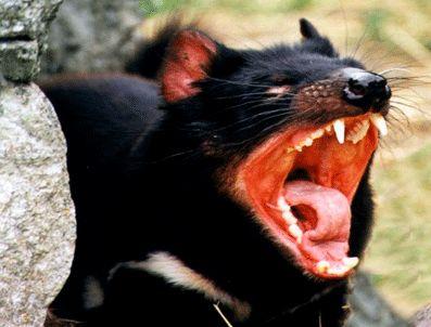 TAZMANYA - Efsane Tazmanya canavarı yok oluyor