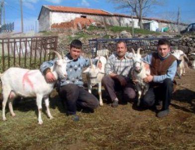 Burhaniye'de Saanen Keçileri Besicinin Umudu Oldu