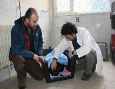 Avcıların Vurduğu Yaralı Akbabaya Ameliyat