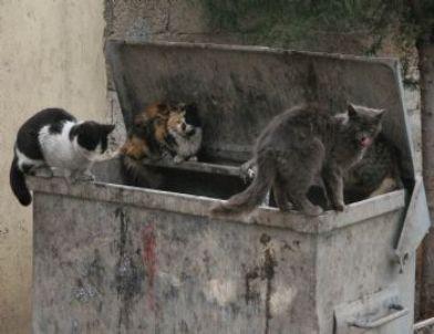 Kedilerin Çöp Konteynırında Yemek Kavgası
