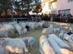 Çandır'da 15 Çiftçiye 315 Saanen Keçisi Dağıtıldı