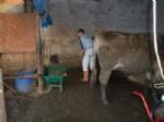 BİYOGAZ - Aydın Damızlık Sığır Yetiştiricileri Birliği'nden Örnek Proje