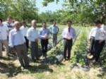 Doğanyol'da Çilek Yetiştiriciliğine Yatırım