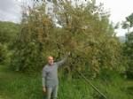 Şenköy'de Onlarca Kızılcık Ağacı Kurumaya Terk Edildi