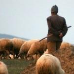 GEDİKPAŞA - Çobanlığını Yaptığı Hayvanların Sahibini Yaraladı