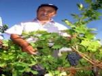 GÜMÜŞPINAR KÖYÜ - Organik Üzümler Tezgahlarda Yerini Aldı