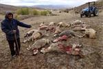 Kurtlar 25 Koyunu Parçaladı