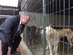 Donmaktan Kurtarılan Köpekler Barınağa Kondu