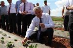 Çankırı'da Çilek Bahçeleri Kuruldu