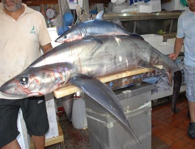 Fethiyeli Balıkçılar 95 Kilo Ağırlığında Köpek Balığı Yakaladı
