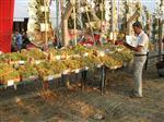 TAYTAN - Üzüm ve Kültür Şenliği Başlıyor