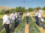 Doğanyol'da Çilek Üretimi Yaygınlaşıyor