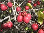 ÜVEZ - Erzurum'da Yabanıl Meyveli Türlerin Korunması Çalışması