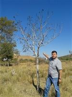 TAYFUR ÇİÇEK - (özel Haber) - Tire'de 200 Ceviz Ağacı Susuzluktan Telef Oldu
