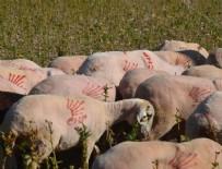 Koyunlara CHP Amblemi!