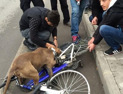 Pitbull bisikleti böyle parçaladı