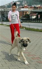 SHAKİRA - Bu Kızlar Süs Köpeği Yerine Kangal Gezdiriyor