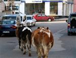 ARSLAN YURT - Gerede'de Hayvancılık Yasaklandı