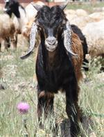 Nurhak'ta Hayvancılığa 'güven Ortamı' Dopingi