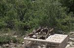 Karaman'da Doğaya 2 Bin Adet Kınalı Keklik Bırakıldı