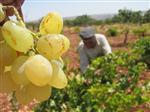 GÜMÜŞPINAR KÖYÜ - Araban'da 2014 Yılı Organik Üzüm Hasadı Başladı