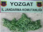 Yozgat'ta Jandarmadan Esrar Operasyonu