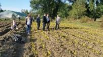 NECMİ ÇELİK - Çaycuma'da Lale, Zambak Ve Çiğdem Soğanı Üretimi Katlanarak Devam Ediyor