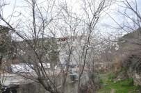Sinop'ta Erik Ağaçları Çiçek Açtı