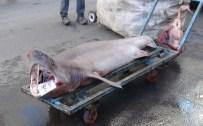 Balıkçıların Ağına 3 Metre Boyunda Köpek Balığı Takıldı