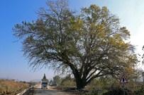 ÇEVRE İL MÜDÜRLÜĞÜ - Künye Ağacı Tescilleniyor