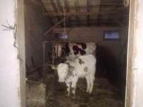 KOZCAĞıZ - Bartın'da Hayvan Hırsızları 4 Büyükbaş Hayvan Daha Çaldı