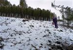 Yanan Ormana Anadolu Karaçamı Tohumu Ekildi