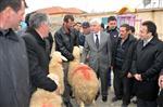 Karaman'da Üreticilere Damızlık Koç Dağıtıldı